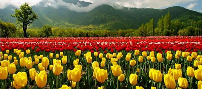 tulip-garden2