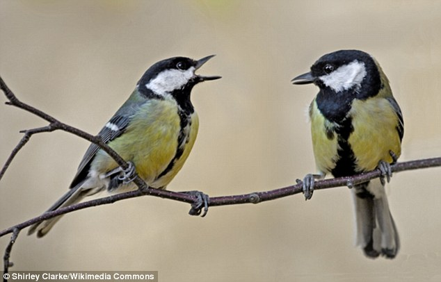 31ff1b3a00000578-3482467-japanese_great_tits_are_close_relatives_of_the_birds_commonly_fo-a-8_1457458432791