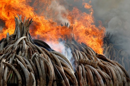 Fire burns part of an estimated 105 tonnes of ivory and a tonne of rhino horn confiscated from smugglers and poachers at the Nairobi National Park near Nairobi