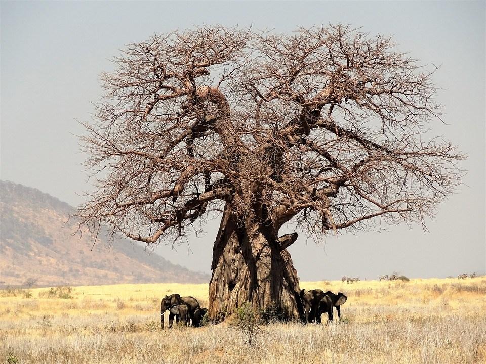 Nature Baobab Tree Africa Tanzania Safari
